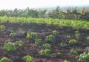 La agricultura en Songo – La Maya por el camino de la recuperación