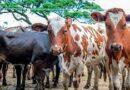 Así marcha la comercialización de ganado vacuno en Songo – La Maya