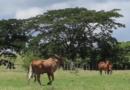 Así marcha el programa ganadero en Songo – La Maya